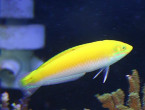White Belly Wrasse