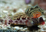 Ocellated Dragonet