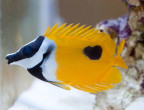 One Spot Foxface Rabbitfish