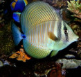 Red Sea Sailfin Tang