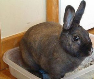 How To Toilet Train a Rabbit