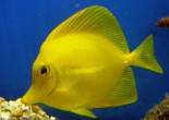 The Yellow Tang